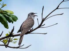 Brush Cuckoo (Image ID 35818)