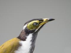 Blue-faced Honeyeater (Image ID 35830)