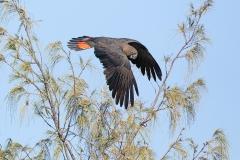 Glossy Black-Cockatoo (Image ID 35876)