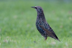 Common Starling (Image ID 35829)