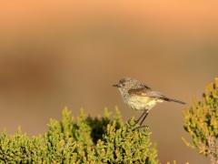 Slender-billed Thornbill (Image ID 35824)