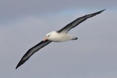 Campbell Albatross (Image ID 35728)