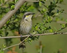 Singing Honeyeater (Image ID 35898)