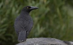 Black Currawong (Image ID 35566)
