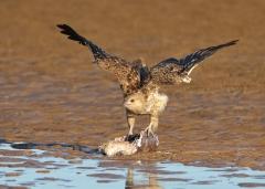 Whistling Kite (Image ID 35750)