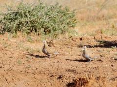 Flock Bronzewing (Image ID 35806)