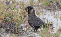 Carnaby's Black-Cockatoo (Image ID 35681)