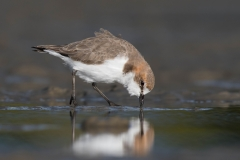 Red-capped Plover (Image ID 35688)