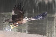 Black Kite (Image ID 35710)
