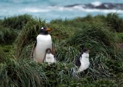 Gentoo Penguin (Image ID 35630)
