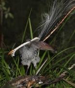 Superb Lyrebird (Image ID 35801)