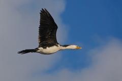Little Pied Cormorant (Image ID 35789)