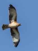 Little Eagle (Image ID 36020)