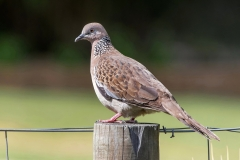 Spotted Dove (Image ID 36028)