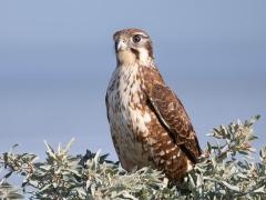 Brown Falcon (Image ID 36121)