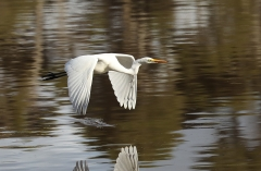 Great Egret (Image ID 35967)