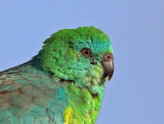Red-rumped Parrot (Image ID 36126)