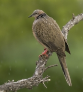 Spotted Dove (Image ID 36155)