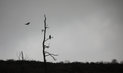 Wedge-tailed Eagle (Image ID 35969)