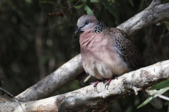 Spotted Dove (Image ID 35978)