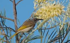 Brown Honeyeater (Image ID 36087)