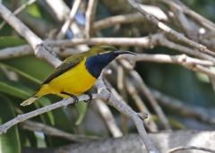 Olive-backed Sunbird (Image ID 36139)