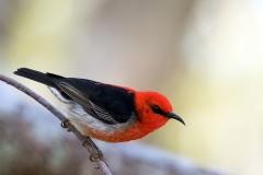 Scarlet Honeyeater (Image ID 36035)