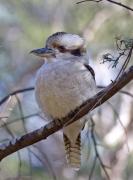 Laughing Kookaburra (Image ID 36176)