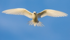 White Tern (Image ID 35944)