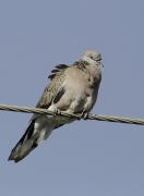 Spotted Dove (Image ID 36152)