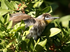 Little Friarbird (Image ID 36036)