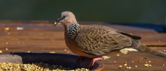 Spotted Dove (Image ID 36106)