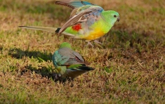 Red-rumped Parrot (Image ID 36094)