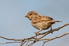 House Sparrow (Image ID 36274)