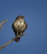 Brown Falcon (Image ID 36193)