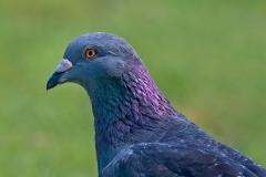 Rock Dove (Image ID 36268)