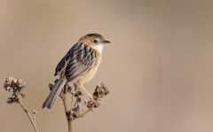 Golden-headed Cisticola (Image ID 36324)