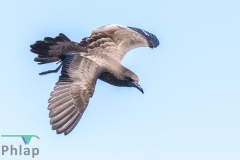 Wedge-tailed Shearwater (Image ID 36258)