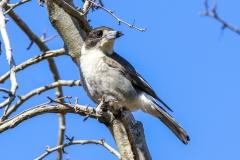 Grey Butcherbird (Image ID 36413)