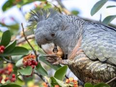 Gang-gang Cockatoo (Image ID 36295)