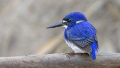 Little Kingfisher (Image ID 36378)