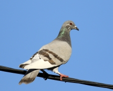 Rock Dove (Image ID 36255)