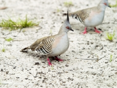Crested Pigeon (Image ID 36280)