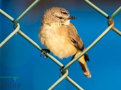 Yellow-rumped Thornbill (Image ID 36334)