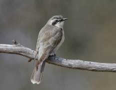 Black-eared Cuckoo (Image ID 36513)