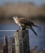 Brown Falcon (Image ID 36652)