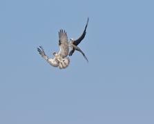 Osprey (Image ID 36660)