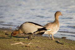 Australian Wood Duck (Image ID 36534)