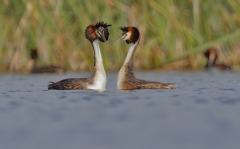 Great Crested Grebe (Image ID 36661)