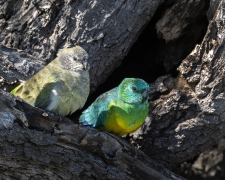 Red-rumped Parrot (Image ID 36588)